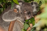 Wer stört hier? - Koala (Phascolarctos cinereus) - Billabong & Koala Wildlife Park