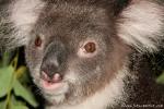 Koala (Phascolarctos cinereus) - Billabong & Koala Wildlife Park