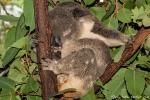 Schlafmütze - Koala (Phascolarctos cinereus) - Billabong & Koala Wildlife Park