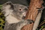 Die Krallen sind wie Steigeisen - Koala (Phascolarctos cinereus)