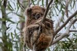 Unser erster Koala (Phascolarctos cinereus) in freier Natur