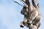 Er lässt sich hängen - Koala (Phascolarctos cinereus)