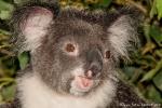 He, jetzt reicht es! - Koala (Phascolarctos cinereus) - Billabong & Koala Wildlife Park