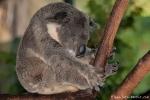 Ob sie manchmal herunter fallen? - Koala (Phascolarctos cinereus) - Billabong & Koala Wildlife Park