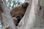 Sind die noch da? Vorsichtiger Blick eines Koalas (Phascolarctos cinereus) von seinem Schlafbaum - Raymond Island
