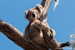 Wie kann das bequem sein? - Koala (Phascolarctos cinereus)