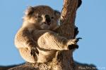 Erstaunlich, dass sie nicht herunter kullern - Koala (Phascolarctos cinereus)