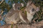 Koala (Phascolarctos cinereus) - Mutter mit ihrem Nachwuchs