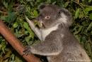 Wenn sie nicht schlafen, fressen sie - Koala (Phascolarctos cinereus) - Billabong & Koala Wildlife Park
