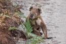 Selten sieht man Koalas (Phascolarctos cinereus) am Boden, doch plötzlich stand er vor unserem Auto
