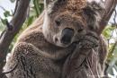 Als würde er lächeln - Koala (Phascolarctos cinereus)