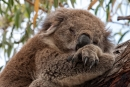 Gemütlich im Lieblingsbaum abhängen - Koala (Phascolarctos cinereus)