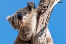 Immer den Überblick behalten - Koala (Phascolarctos cinereus)