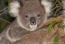 Neugieriger Koala - (Phascolarctos cinereus)