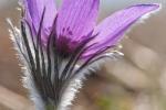 Kuhschelle (Pulsatilla vulgaris)
