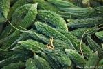 Bittergurken bzw. Bittermelone (Momordica charantia)