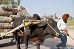 Zeburinder sind wertvolle Helfer bei der Landarbeit