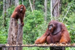Indonesien - Insel Borneo - Tanjung Puting Nationalpark