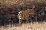 Bengaltiger (Panthera tigris tigris), Bengal tigress male - Bandhavgarh National Park