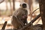 Hanuman Langur mit Baby (Semnopithecus entellus)