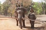 Domestizierte Elefanten für die Tiger-Show - Der Kleine ist noch in der Ausbildung, Bandhavgarh National Park
