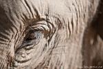 Asiatischer Elefant (Elephas maximus), Asian Elephant