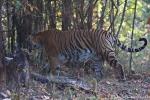 Bengaltiger (Panthera tigris tigris), Bengal tigress female - Kanha National Park