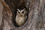 Zwergohreule (Otus bakkamoena), Indian Scops Owl - Kanha National Park