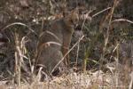 Rohrkatze (Felis chaus), jungle cat - Kanha National Park
