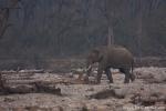 Ein einsamer Elefantenbulle wandert durch das Flussbett
