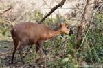 Vierhornantilope (Tetracerus quadricornis), Four-horned Antelope