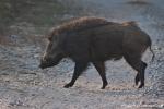 Wildschwein (Sus scrofa), Wild Pig
