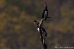 Nashornvögel (Bucerotidae) - extrem selten