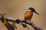 Eisvogel (Alcedo atthis bengalensis), Common kingfisher
