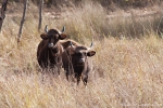 Gaur (Indian bison), Bos gaurus