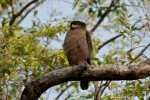 Schlangenweihe (Spilornis cheela), Crested serpent eagle