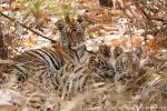 4 - 5 Monate alte Bengaltiger (Panthera tigris tigris), Bengal tigress