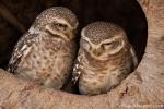Brahma-Kauz (Athene brama), Spotted owlet - Kanha National Park