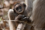 Hanuman Languren-Baby (Semnopithecus entellus)