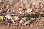 Tigerpython (Python molurus), Burmese Python - Kanha National Park