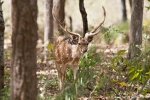 Axishirsch (Axis axis), Spotted Deer
