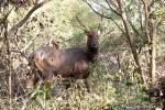 Sambarhirsch (Cervus unicolor), Sambar