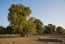 Die Mangobäume stehen in voller Blüte