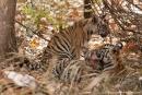 Bengaltiger-Nachwuchs ca. 4 - 5 Monate alt  (Panthera tigris tigris), Bengal tigress