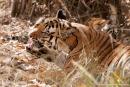 Bengaltigerin mit ihren Jungen (Panthera tigris tigris), Bengal tigress