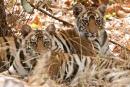 Tigernachwuchs (Panthera tigris tigris), Bengal tigress
