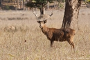 Barasingha (Rucervus duvaucelii), Swamp Deer