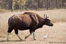 Gaur - Indischer Bison (Bos gaurus) - Kanha National Park