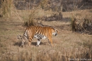 Bengaltiger (Panthera tigris tigris), Bengal tigress female