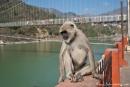 Hanuman Languren gehören zum Stadtbild von Rishikesh